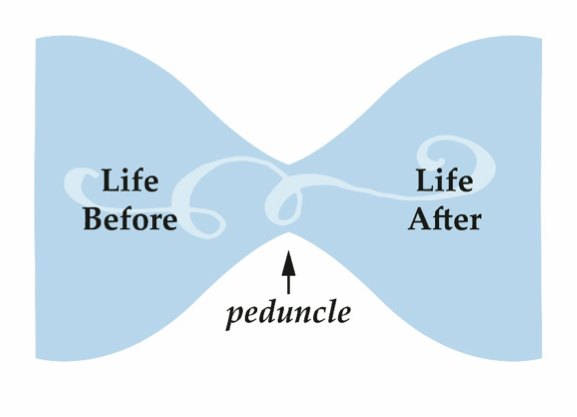"illustration of a sideways hourglass, with ""life before"" on the left, ""peduncle"" labeling the pinched point, and ""life after"" on the right"